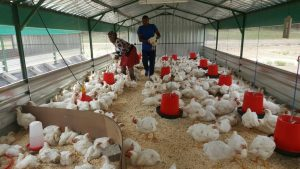 chickens-being-weighed-as-they-will-be-on-sale-at-the-launch-tomorrow